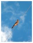 Octobre 2012 : Exploration dans la cordillère Pariacaca  -  Faucon crécerelle d'Amérique  Exploracion en la cordillera Pariacaca - Cernicalo americano