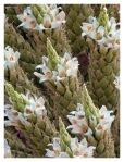 Octobre 2012 : Exploration dans la cordillère Pariacaca -  La Puya Raimondii en fleurs  Exploracion en la cordillera Pariacaca - La puya raimondii