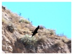 Aout 2013 : Trek dans le canyon Cotahuasi (Arequipa) - Condor  Trek en el canyon de Cotahuasi (Arequipa) - Condor