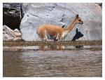Aout 2013 : Retour chez Julio à Atuncolla pour un court séjour d'exploration - Une vigogne dans le lac Umayo  Returno en la casa de Julio en Atuncolla para un pequeño viaje de exploracion - Vicuña en el lago Umayo