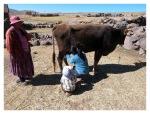 Aout 2013 : Retour chez Julio à Atuncolla pour un court séjour d'exploration - Mayra à la traite des vaches !  Returno en la casa de Julio en Atuncolla para un pequeño viaje de exploracion - Mayra