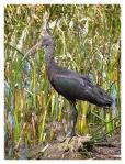 Septembre 2013 : Llachon avec Annaïg et Gauthier - Ibis de Ridgway  Ibis de la Puno
